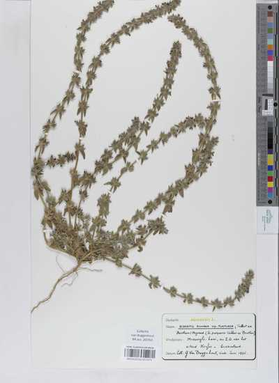 Sideritis romana Georgi subsp. purpurea (Talbot ex Benth.) Heywood