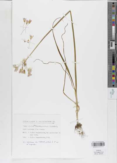 Allium roseum L. subsp. bulbiferum (Koch) E.F.Warb.