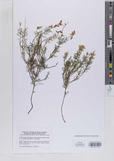 Genista sylvestris Scop. subsp. dalmatica (Bartl.) Lindb.