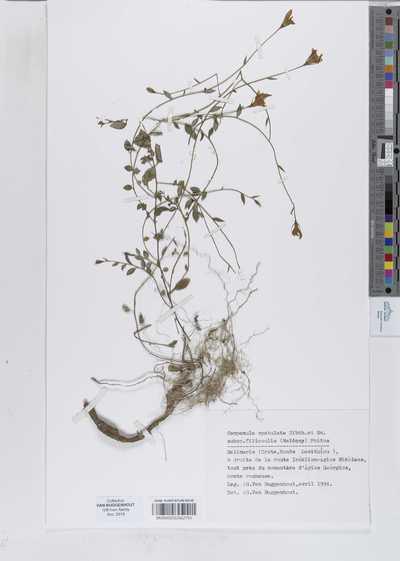 Campanula spathulata Ehrenb. ex Boiss. subsp. filicaulis (Halacsy) Phitos