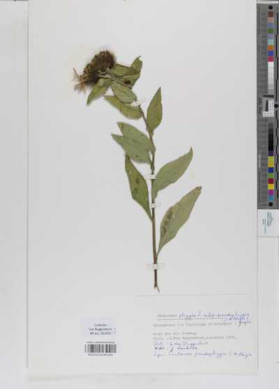 Centaurea phrygia Lapeyr. ex Willk. & Lange