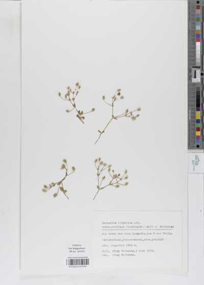 Cerastium illyricum Ard. subsp. prolixum (Lonsing) P.D.Sell et Whitehead