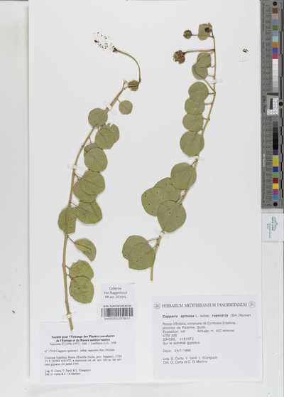 Capparis spinosa L. subsp. rupestris (Sm.) Nyman
