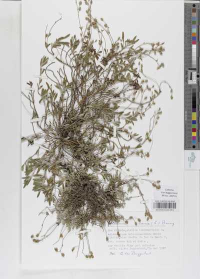 Helianthemum oelandicum (L.) DC. subsp. incanum (Willk.) G.López