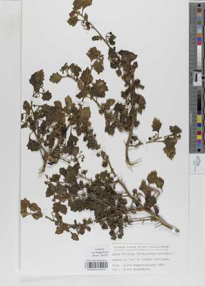 Solanum nigrum L. subsp. luteum Kirschl.