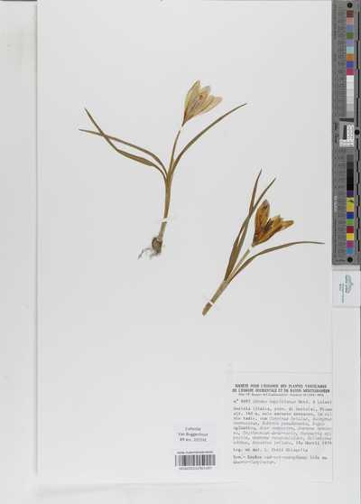 Crocus neapolitanus (Ker Gawl.) Loisel.