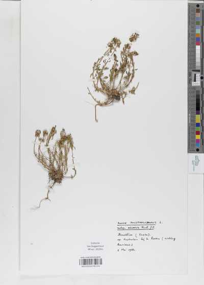 Rumex bucephalophorus L. subsp. aecaeus Rech.fil.