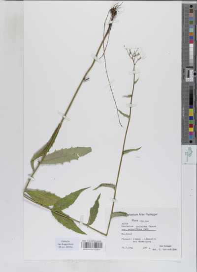 Hieracium inuloides Tausch subsp. setosifrons Zahn