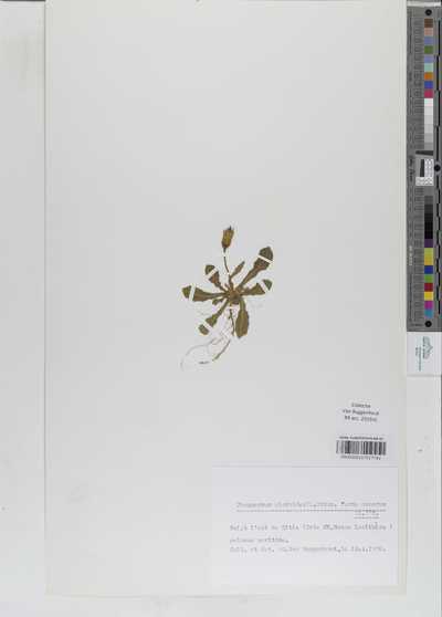 Urospermum picroides (L.) Scop. ex F.W.Schmidt forma asperum (L.) DC.