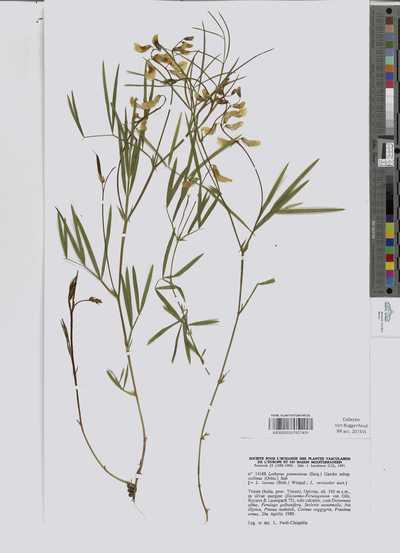 Lathyrus pannonicus (Jacq.) Garcke subsp. collinus (Ortm.) Soo