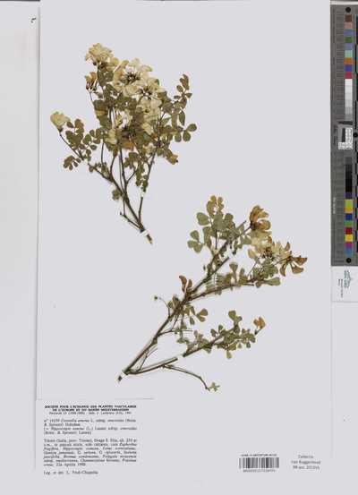 Coronilla emerus L. subsp. emeroides (Boiss. & Spruner) Holmboe