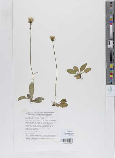 Hieracium bifidum Kit. ex Hornem. subsp. oreites (Arv.-Touv.) Zahn