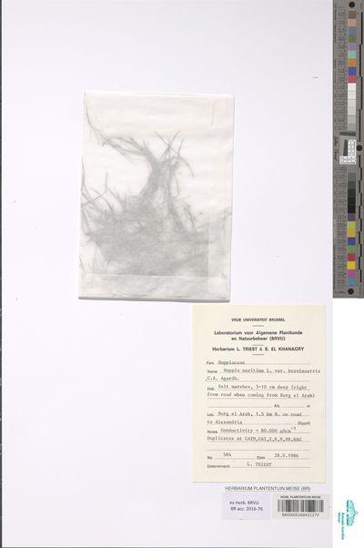 Ruppia maritima L. var. brevirostris (C. Agardh) Asch. & Graebn.