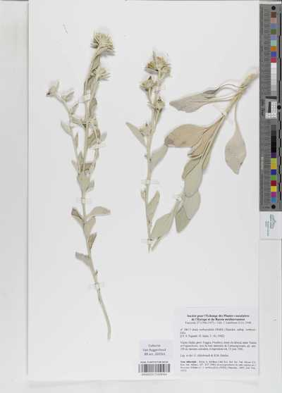 Inula verbascifolia (Willd.) Hausskn. subsp. verbascifolia