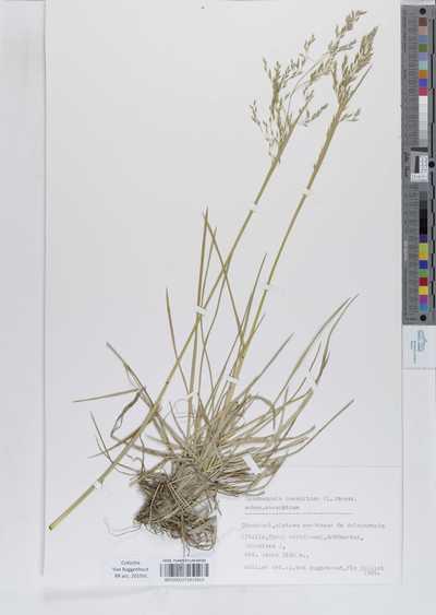 Deschampsia caespitosa (L.) P.Beauv. subsp. caespitosa