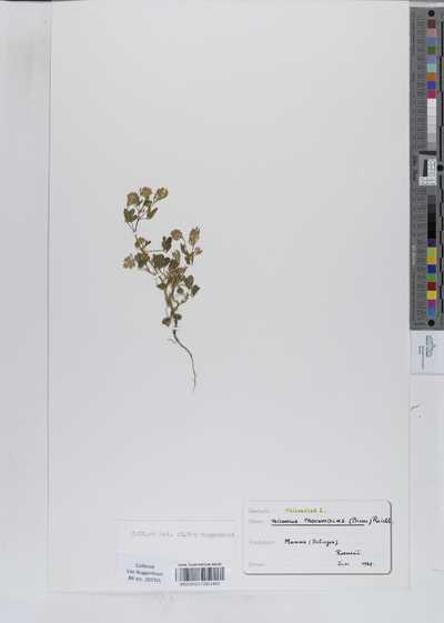Trigonella procumbens Rchb.