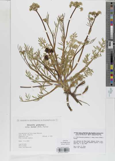 Oenanthe globulosa L. subsp. kunzei (Willk.) Nyman