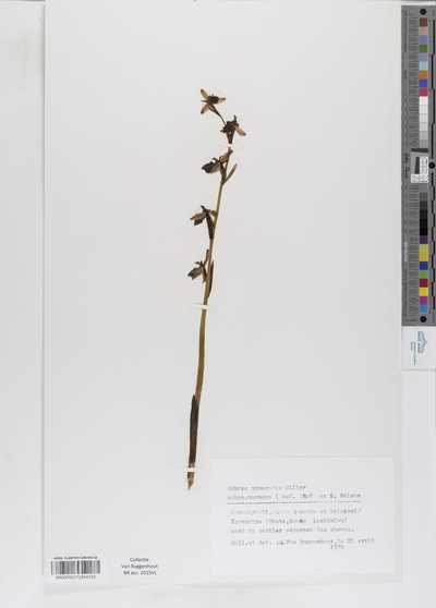 Ophrys sphegodes Miller subsp. mammosa (Desf.) Soo ex E. Nelson