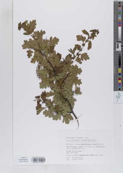 Crataegus monogyna Jacq. var. lasiocarpa (Lange) K.I.Chr.