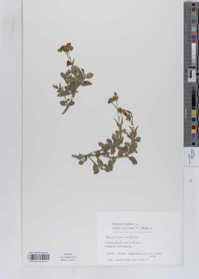 Cistus incanus L. subsp. creticus (L.) Heywood