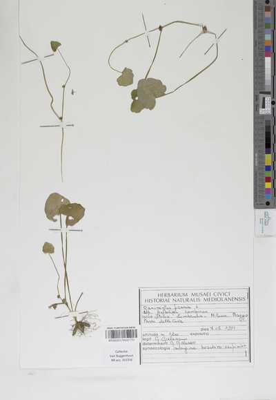 Ranunculus ficaria L. subsp. bulbilifer Lambinon