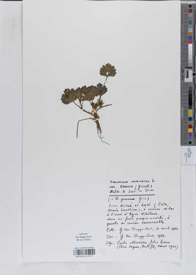 Ranunculus muricatus L. var. graecus (Grisel.) Heldr. & Sart. in Boiss.