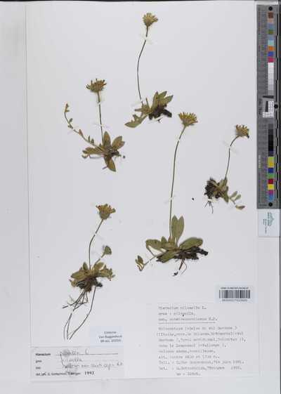 Hieracium pilosella L. grex: pilosella ssp. subvirescenticeps N.P.