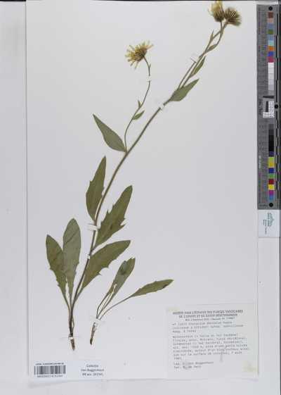 Hieracium dentatum Lagger subsp. subvillosum Naeg. & Peter