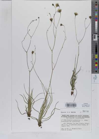 Hieracium porrifolium L. subsp. porrifolium var. porrifolium