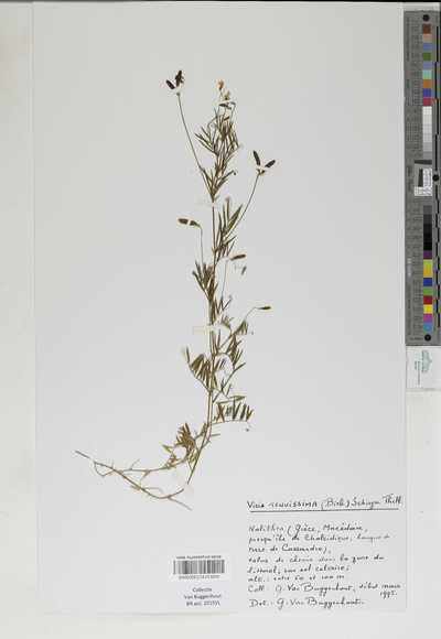 Vicia tenuissima (M.Bieb.) Schinz & Thell.