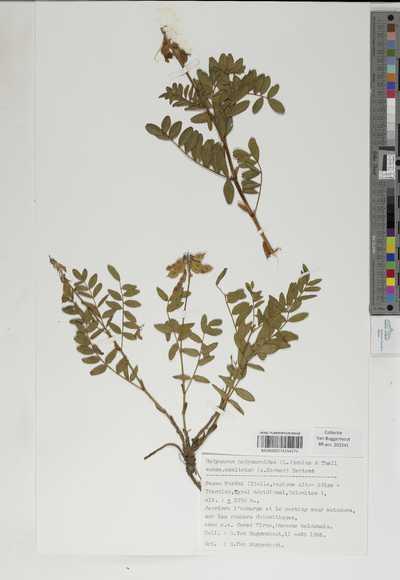 Hedysarum hedysaroides Schinz & Thell. subsp. exaltatum (A. Kerner) Zertova
