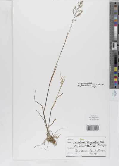 Poa trivialis L. var. vulgaris Rchb