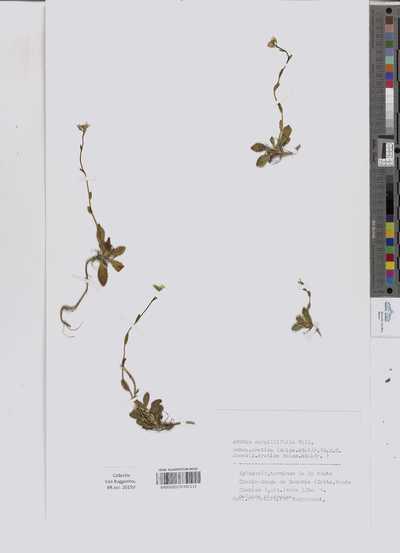 Arabis serpillifolia Vill. subsp. cretica