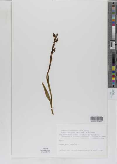 Serapias vomeracea (Burm.) Briq. subsp. laxiflora (Soó) Gölz & H.R.Reinhard