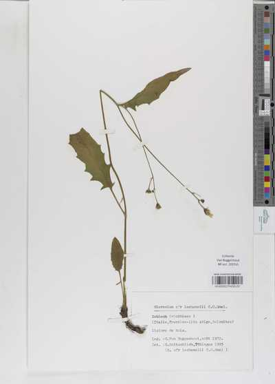 Hieracium lachenalii Suter subsp. cruentifolium (Dahlst. & Lübeck) Zahn