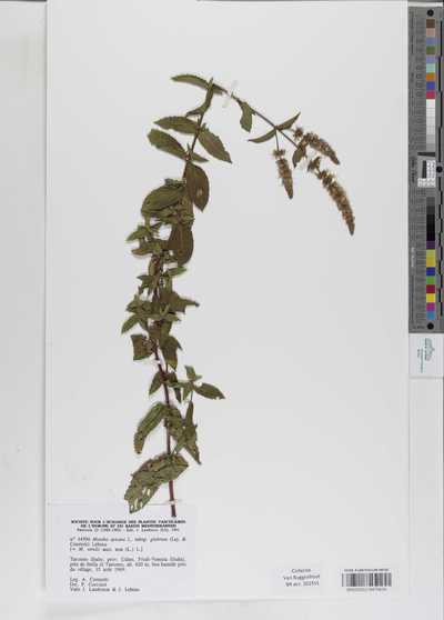 Mentha spicata L. subsp. glabrata (Lej. & Court.) Lebeau