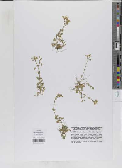 Cerastium ligusticum Viv. subsp. ligusticum