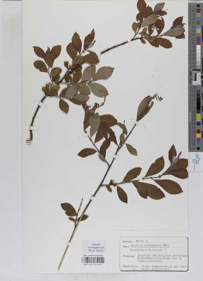 Salix multinervis Döll