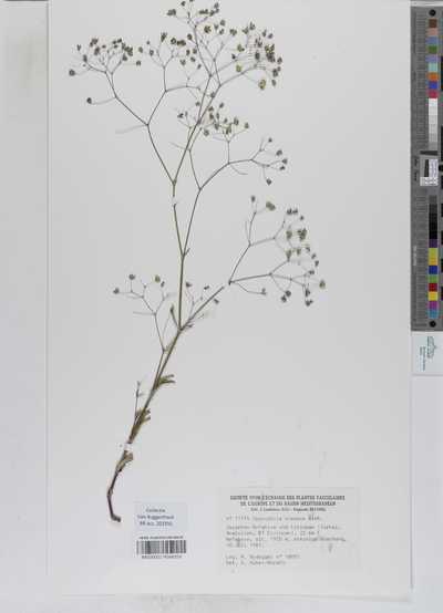 Gypsophila elegans M.Bieb.