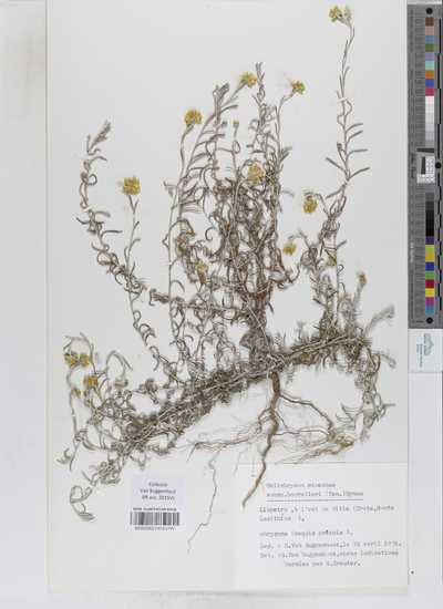 Helichrysum stoechas subsp. barrelieri (Ten.) Nyman