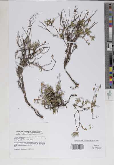 Helianthemum oelandicum (L.) DC. subsp. alpestre (Jacq.) Breistr.