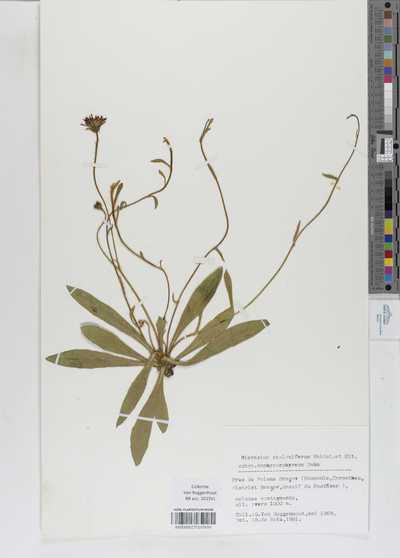 Hieracium stoloniferum Waldst. et Kit. subsp. amphyporphyreum Zahn