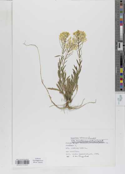 Erysimum witmannii Zawadzki subsp. transsilvanicum (Schur) P.W.Ball