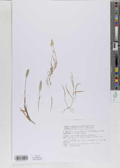 Phleum subulatum (Savi) Asch. & Graebn. subsp. ciliatum (Boiss.) Humphries