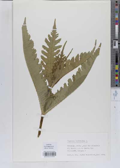 Dipsacus laciniatus L.