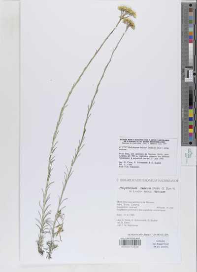 Helichrysum italicum (Roth) G.Don Fil.in Loudon subsp. serotinum (Boiss.) P. Fourn.