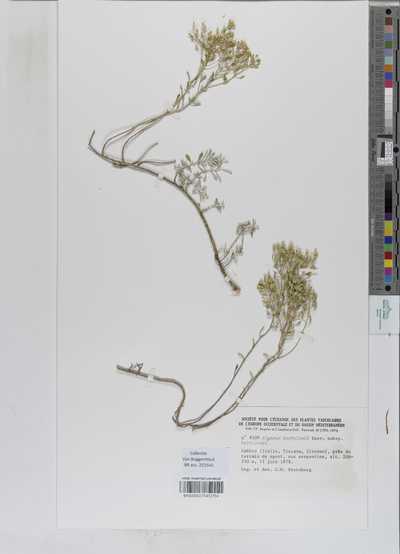 Alyssum bertolonii Desv. subsp. bertolonii