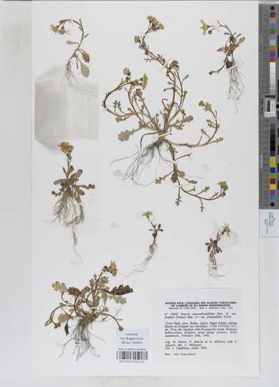 Senecio leucanthemifolius Poir. cf. var. fradinii (Pomel) Batt.