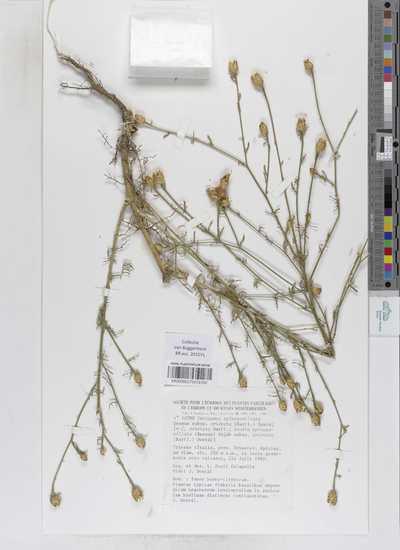 Centaurea spinosociliata Seenus subsp. cristata (Bartl.) Dostál