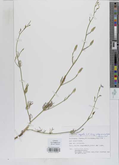 Consolida regalis Gray subsp. paniculata (Host) Soó